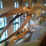 Whale Bones at the NC Natural Sciences Museum